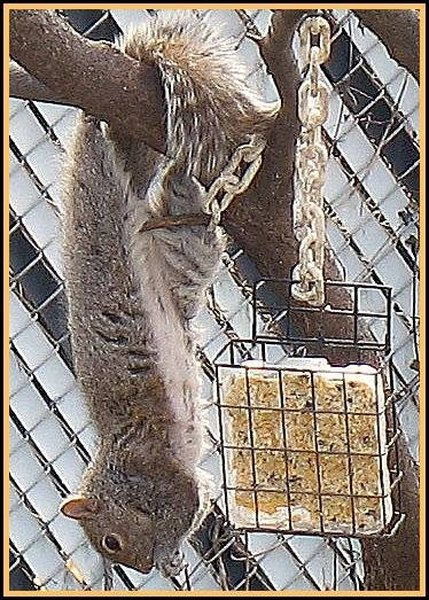 Squirrel at suet feeder. Photo by Di the Huntress @ Creative Commons