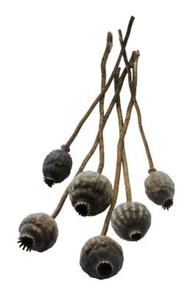 These poppy seed pods are filled with hundreds of tiny seeds.