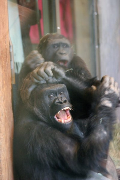 Gorillas live in social groups called troops.
