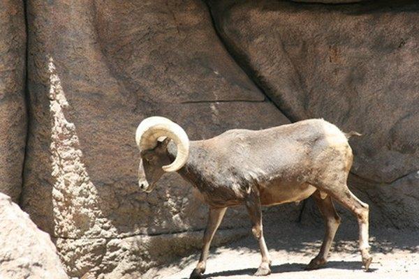 Big horn sheep love to climb.
