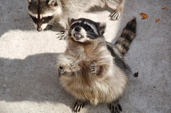Notice the smaller front feet and larger back feet of the raccoon.