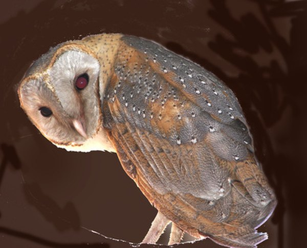 The heart-shaped face of the barn owl is distinct from other North Carolina owls.