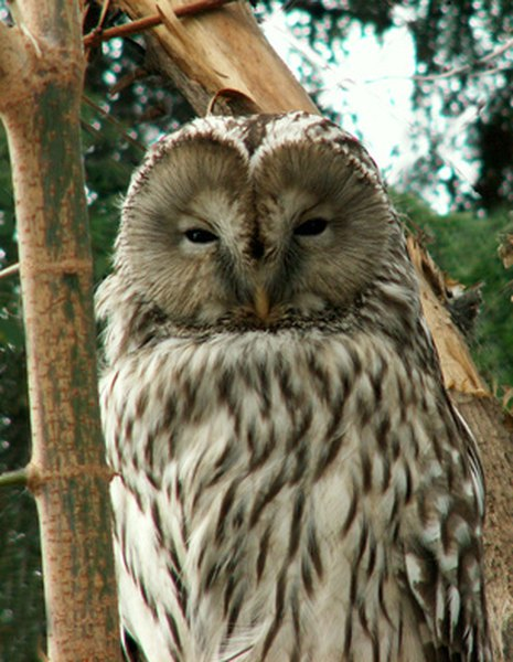 Barred owls are named for the striped pattern on their bodies.
