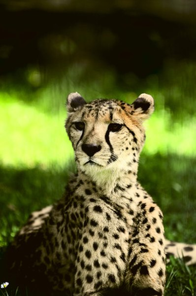 Leopards can be found throughout Africa