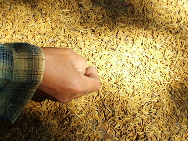 Threshed, unmilled rice before it is milled and turned white