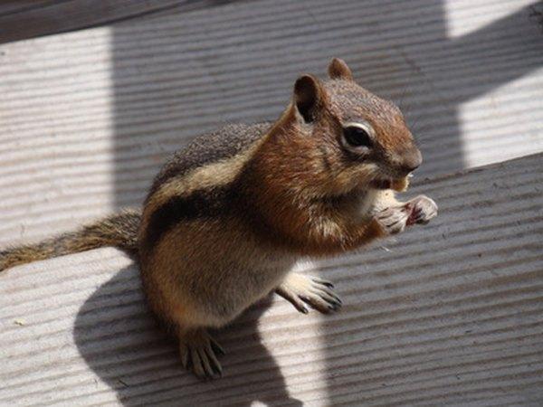 Chipmunks like to raid bird feeders.