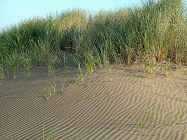 Sand dunes of up to 50 feet tall support the growth of tall grasses.