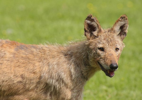 Coyotes are present in both urban and rural areas.