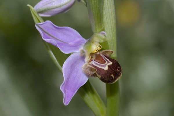 Bee orchid mimics a bee on a flower.