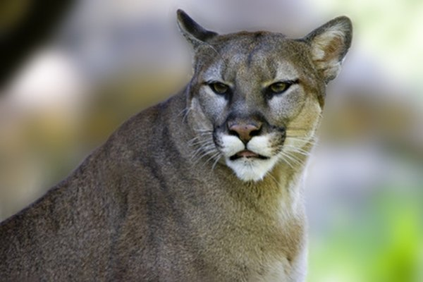 Cougars, also called mountain lions, leave the largest cat prints of all.