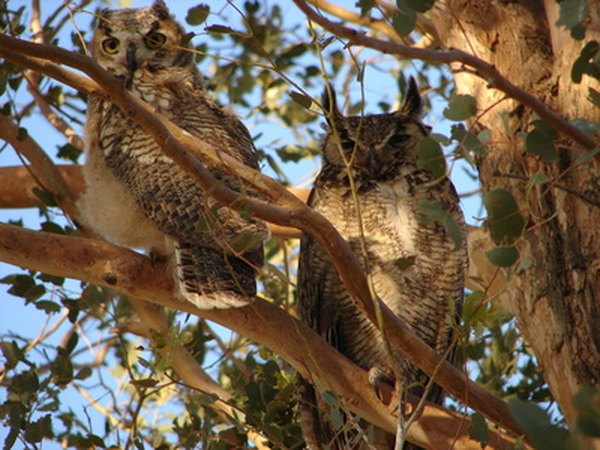 Great horned owls live in woodlands.