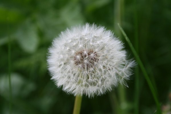 Dandilion seeds are blown away by the wind.