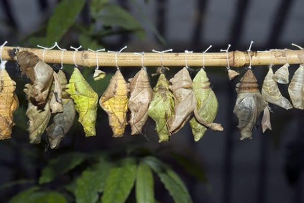 Caterpillars pupate in a chrysalis or cocoon.