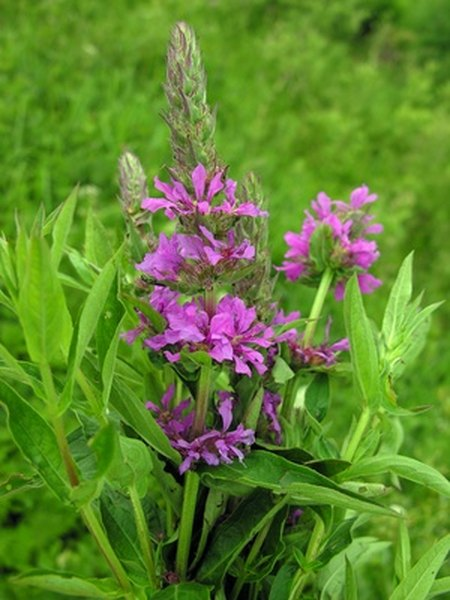 Purple loosestrife invades and changes ecosystems.
