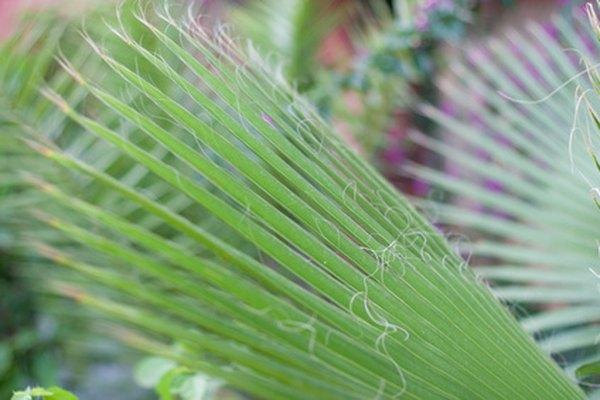 A Malaysian palm tree has medicinal qualities.