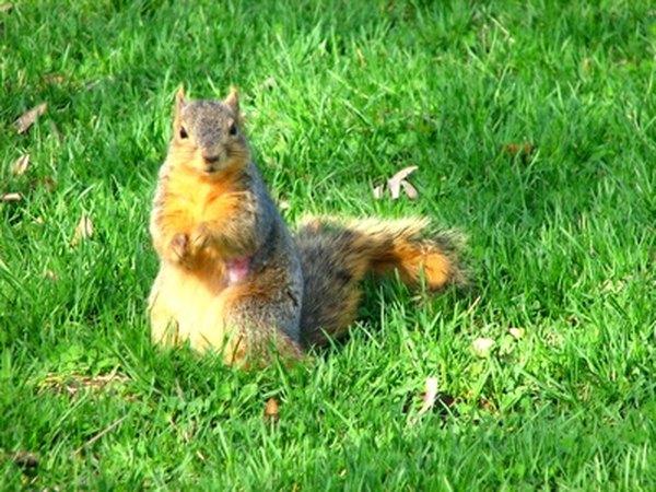 Common squirrels enjoy sunflower seeds.