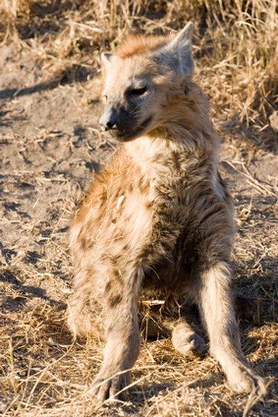 Striped hyenas resemble large dogs