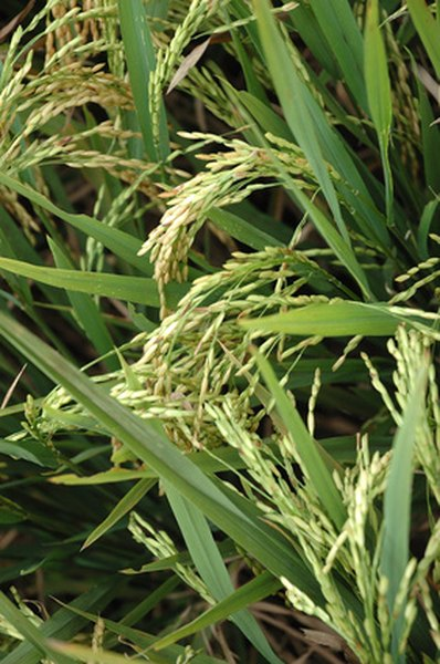 Leaves, panicles and stems of rice plants
