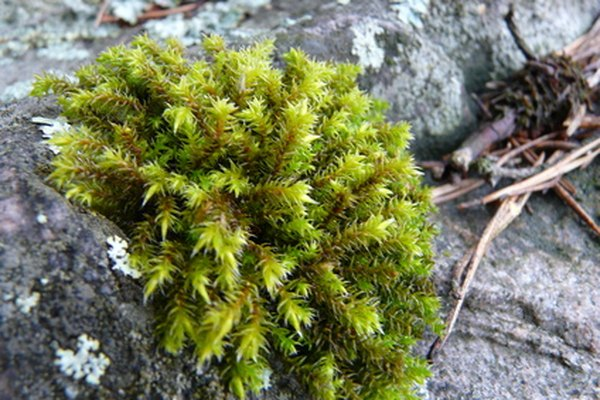 Mosses have no true leaves