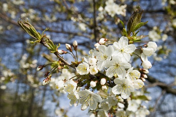 A cherry tree provides food, yet at the same time it beautifies your yard.