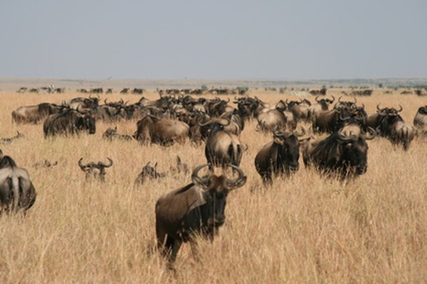 Wildebeests migrate in large herds all year.