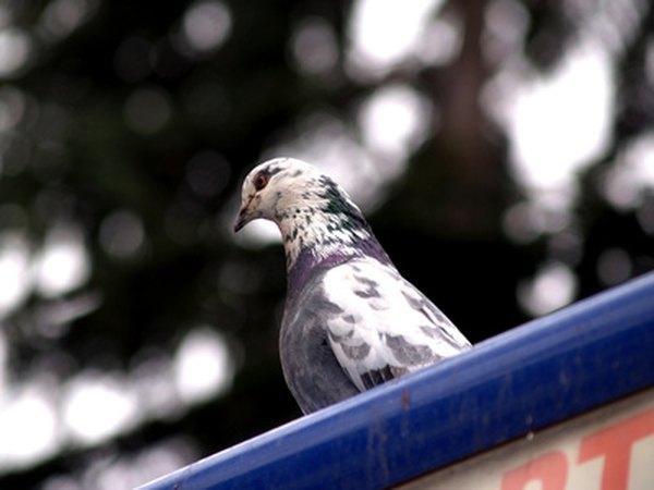 Doves, like many varieties of bird, enjoy sunflower seeds.