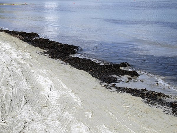 Seaweed washed ashore has been used as fertilizer for centuries.