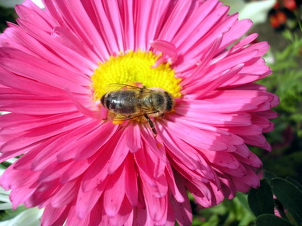 Bees have furrier bodies than wasps and are interested in pollen.