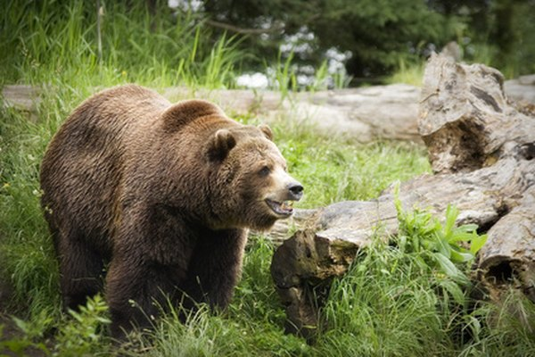 Grizzly bears are large, but they can run very fast when threatened.