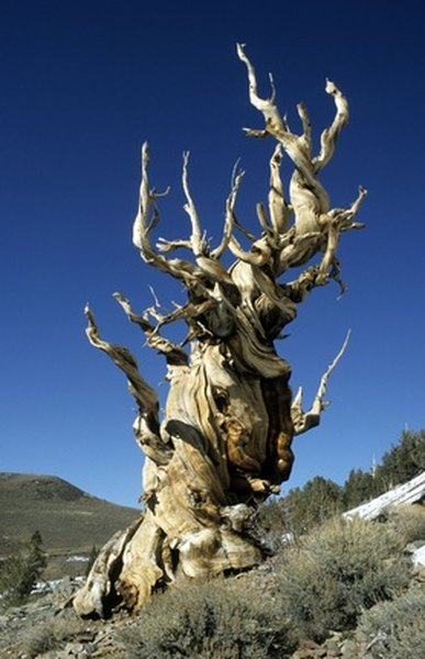 Bristlecone pines conserve moisture before growing each season.