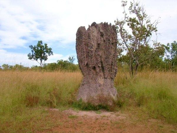 Termite larvae ingest the feces of adult termites in order to obtain protozoa
