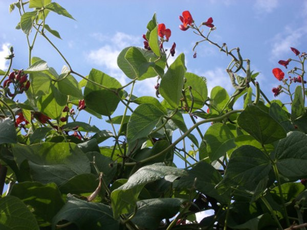 Peas and beans are leguminous flowering plants.