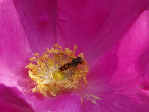 Flying insects move pollen containing angiosperm genes long distances.