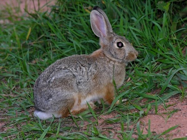 The long, rear feet of a rabbit make their prints easy to identify.