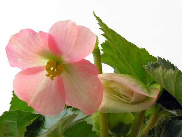 Begonias can be used for medicinal purposes.
