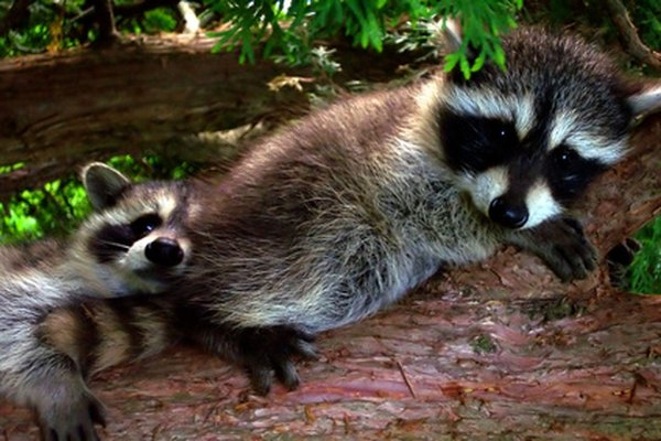 Raccoons often nest in tree cavities in woodlands.