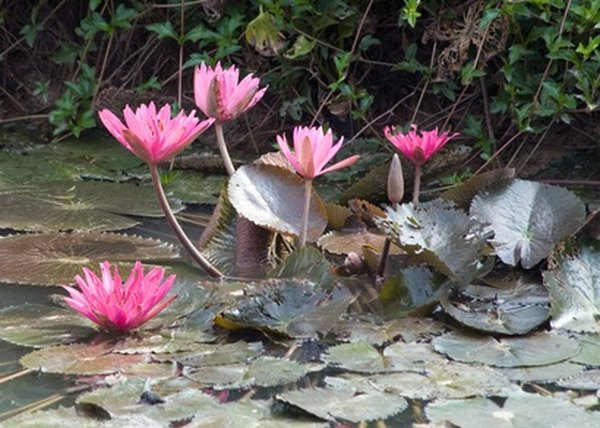 Watershield resembles the waterlily.