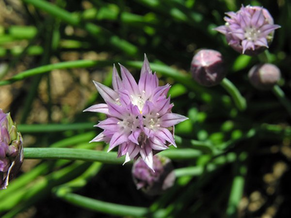 Chives taste great in a variety of dishes.