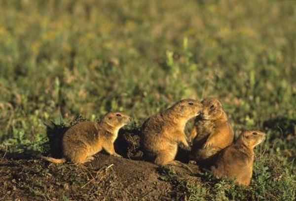 Prairie dogs can be found on the temperate grasslands of America.