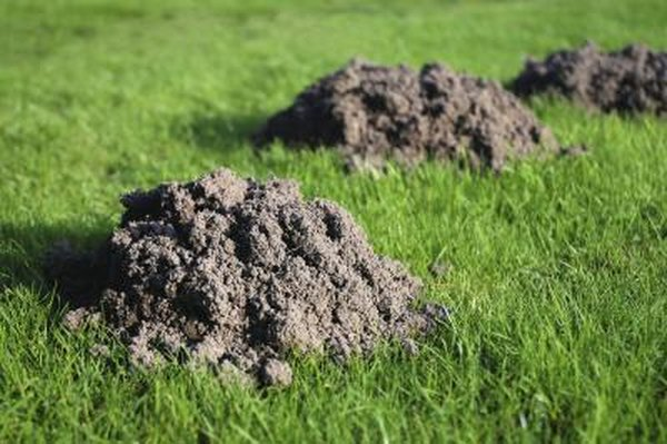 Three mole hills in the grass.