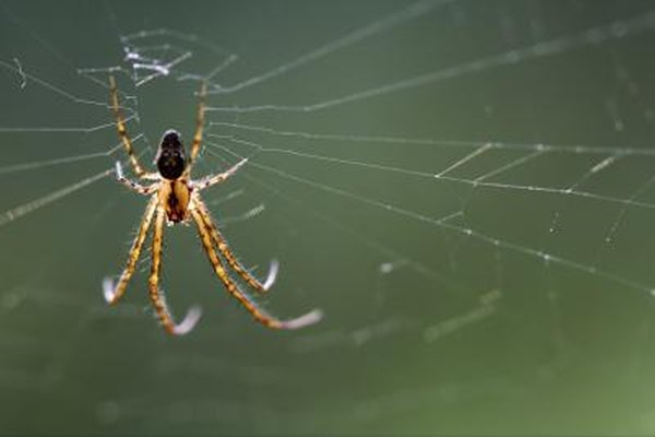 A brown recluse spider weaves a web.