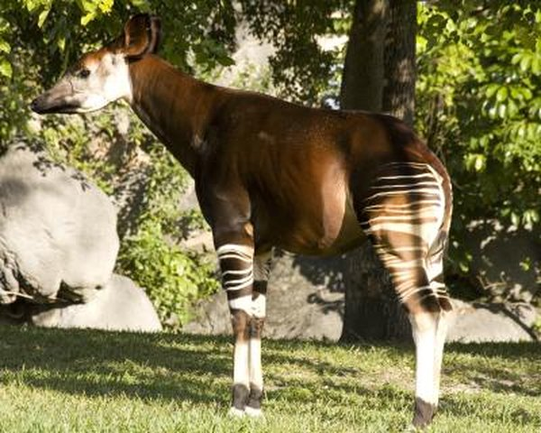 An adult okapi.