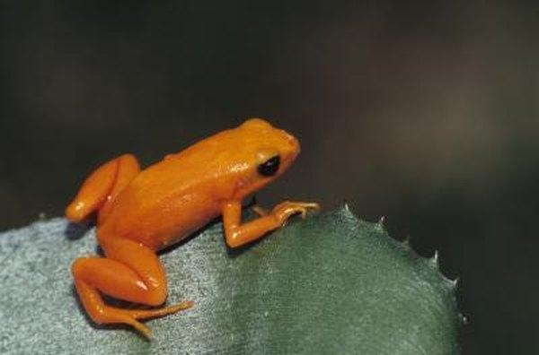 Golden frog in rainforest.