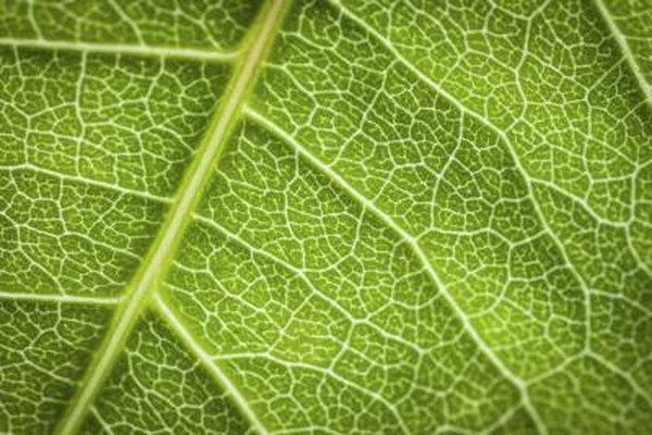 Detail of plant leaf