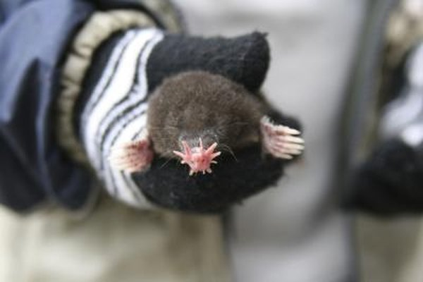 A person wearing mittens holds a star nosed mole.