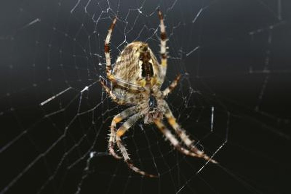 A brown recluse spider on its web in the dark.