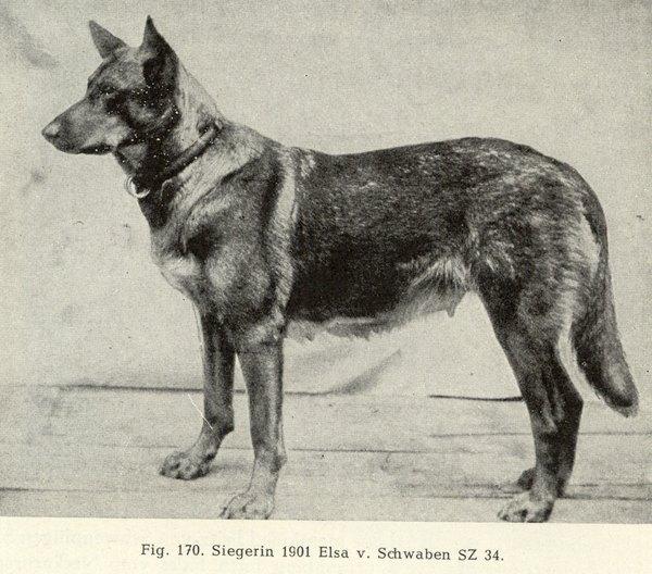 Uno de los primeros ejemplares de pastor alemán.
