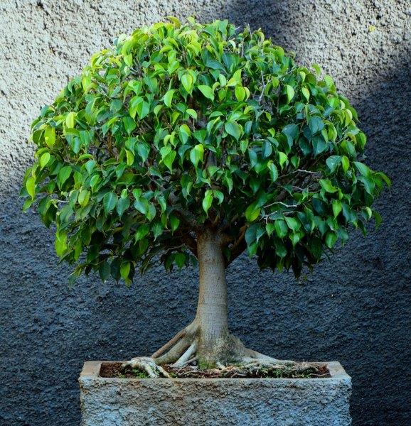 Una maceta con un pequeño Ficus