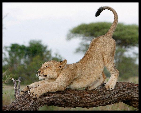 Un cachorro de león se estira en un tronco.