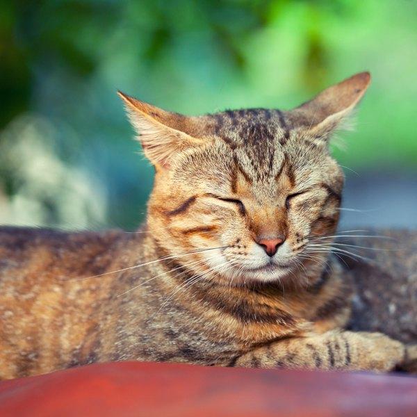 O gato silvestre, também conhecido como gato bravo, é natural de África, Ásia e Europa